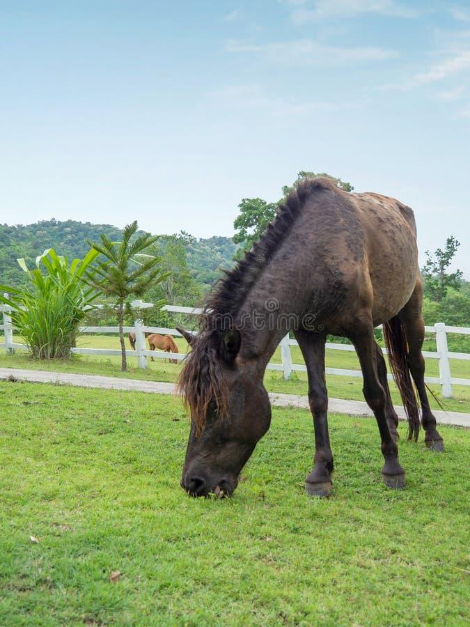 在草坪,马的放牧地带的马 免版税库存照片