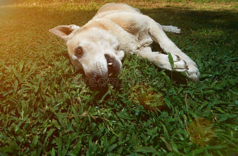 在草放置的一只德国牧羊犬 库存照片