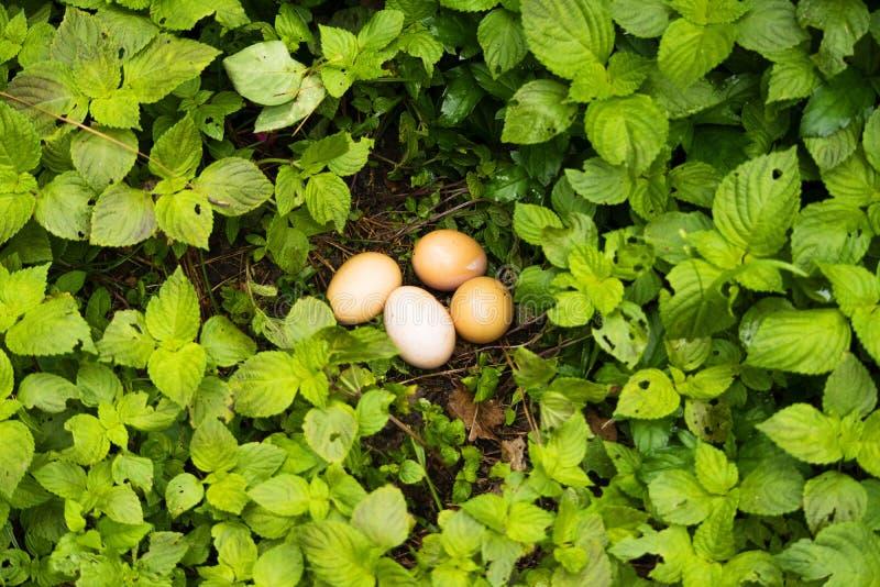在草本的鸡蛋 免版税图库摄影