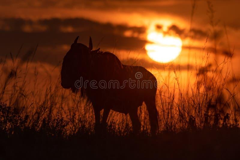 在草现出轮廓的蓝色角马在日落 库存照片