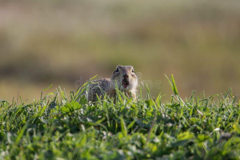 在草甸中间的欧洲地松鼠地面松鼠类黄鼠属吃绿草的 免版税库存照片