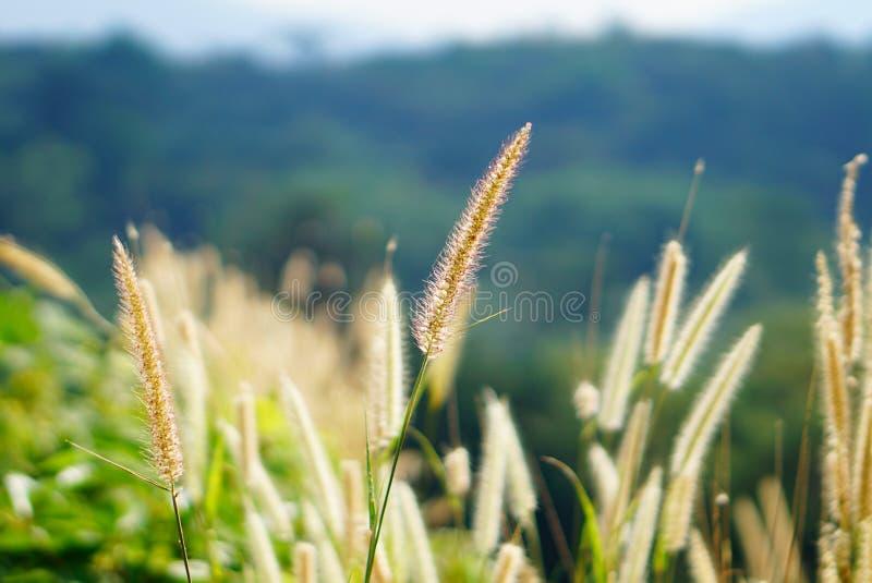 在草甸和明亮的光,软的迷离背景的高草花 免版税库存照片