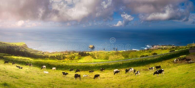 在草甸和海洋的母牛Ponta的Delgada,亚速尔群岛 免版税库存照片
