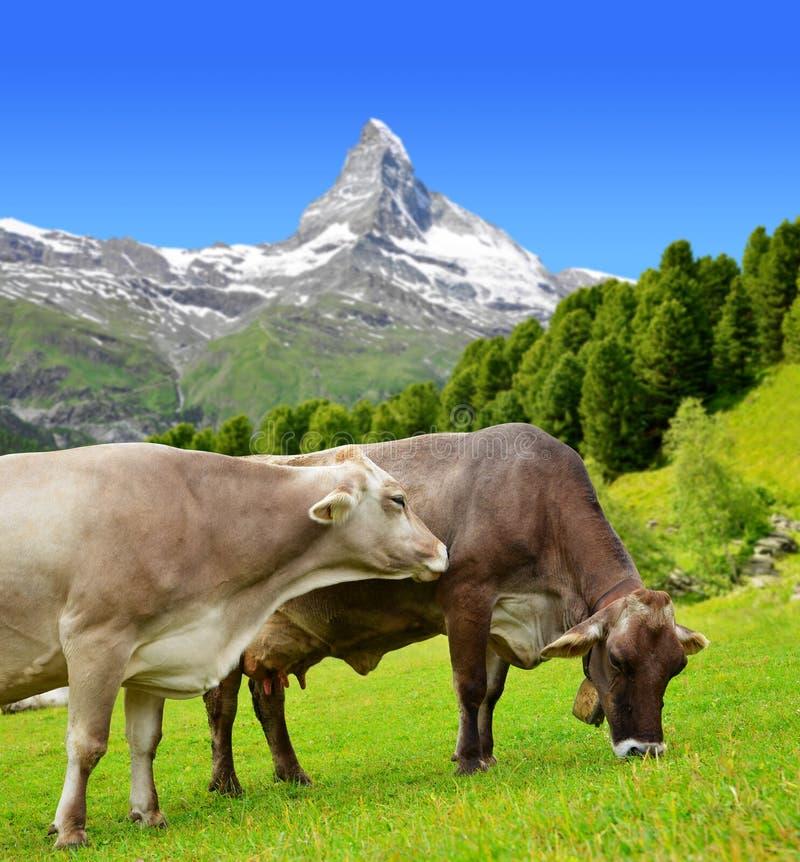 在草甸威胁吃草在叶绿泥石阿尔卑斯,瑞士 免版税库存图片