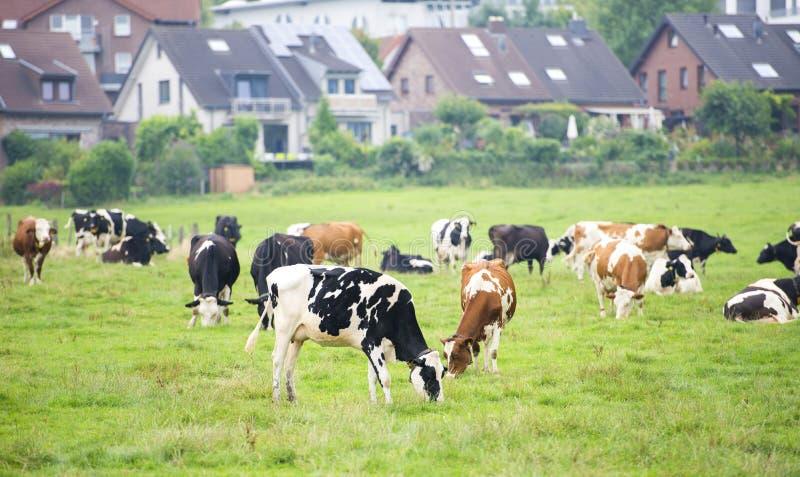 在草甸有树的和房子的母牛天际的 库存图片