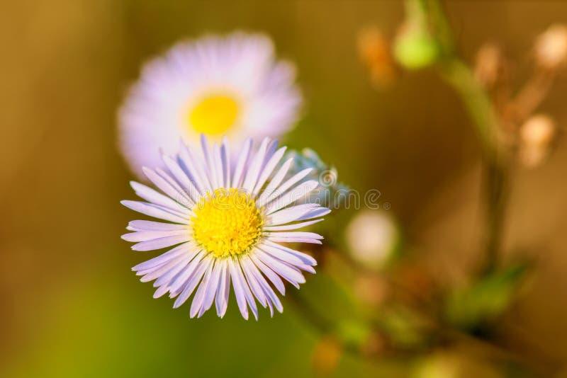 在草甸特写镜头的白花春黄菊 免版税库存照片