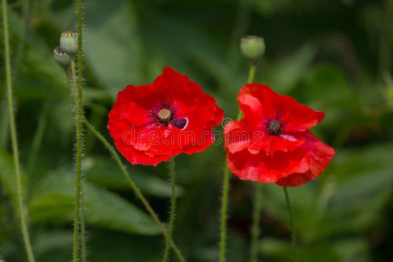 在草甸特写镜头的红色poppys 库存照片