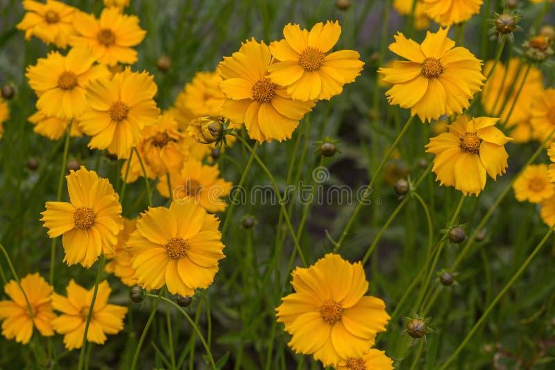 在草甸特写镜头的黄色波斯菊花 免版税库存照片