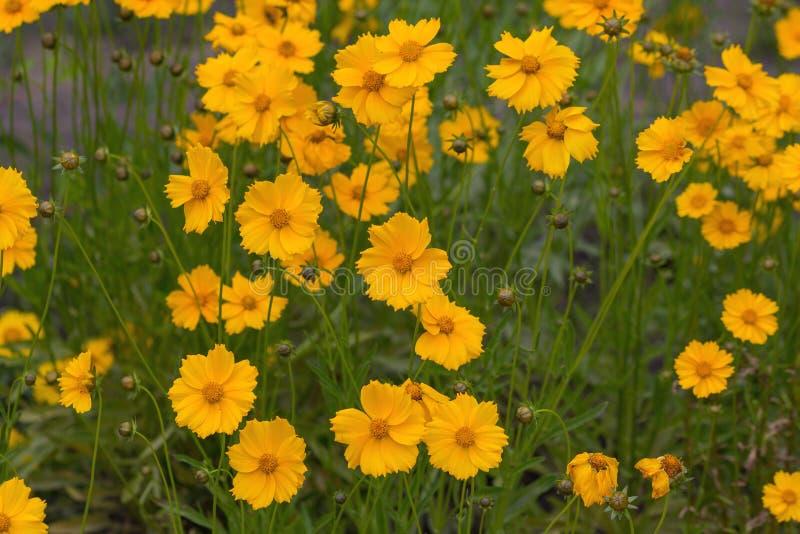 在草甸特写镜头的黄色波斯菊花 免版税库存图片