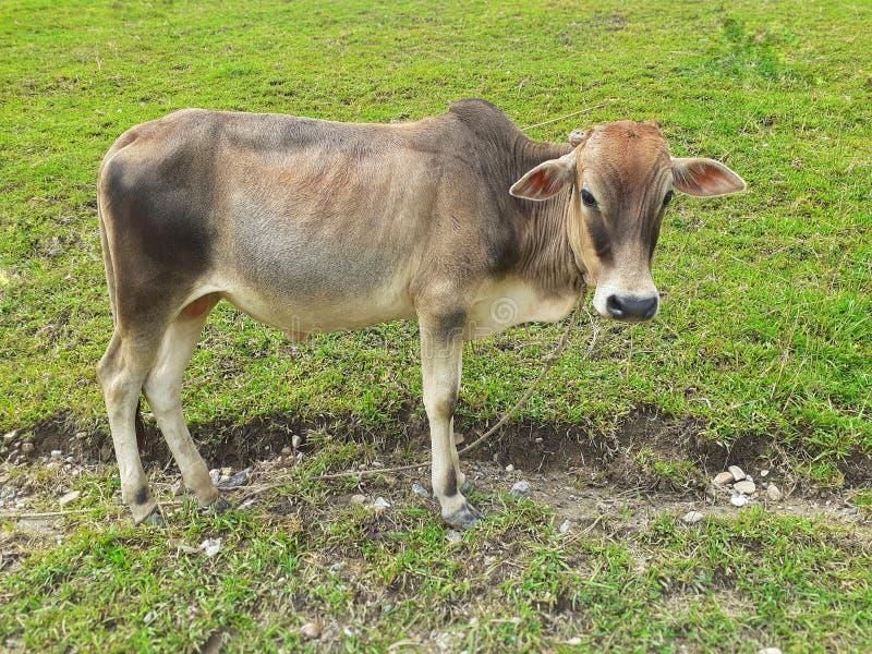 在草甸的一个灰色母牛身分和看直接对照相机 免版税库存照片