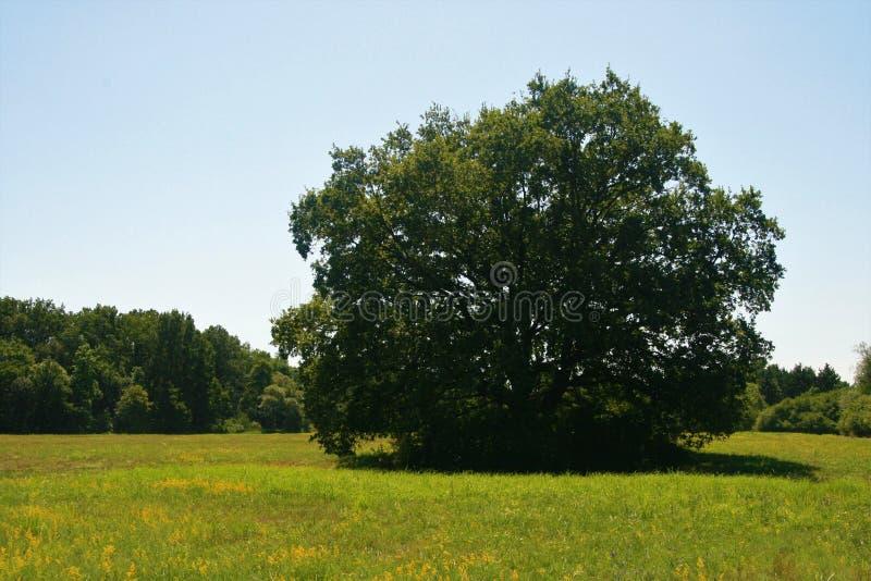 在草甸的中心的大树 库存图片