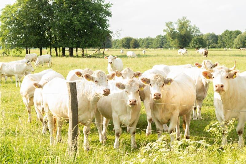 在草甸的夏洛来牛母牛 库存照片
