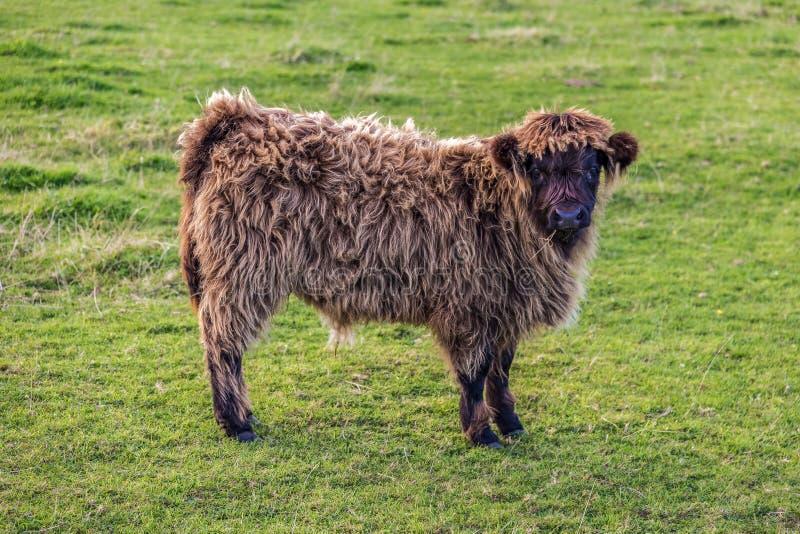 在草甸的好奇小牛 免版税库存图片