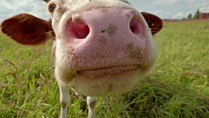 在草甸的好奇母牛特写镜头 免版税库存照片