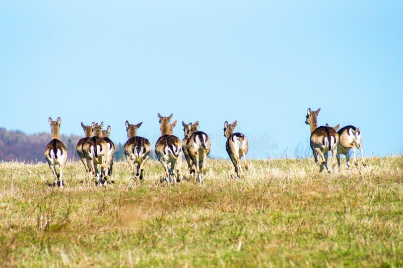 在草甸的小鹿 免版税库存图片