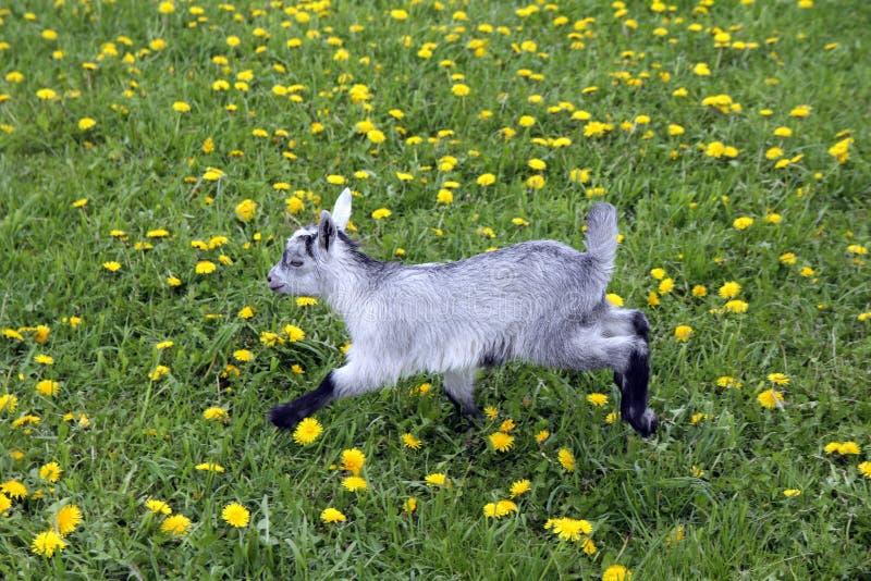 在草甸的山羊孩子奔跑 库存照片
