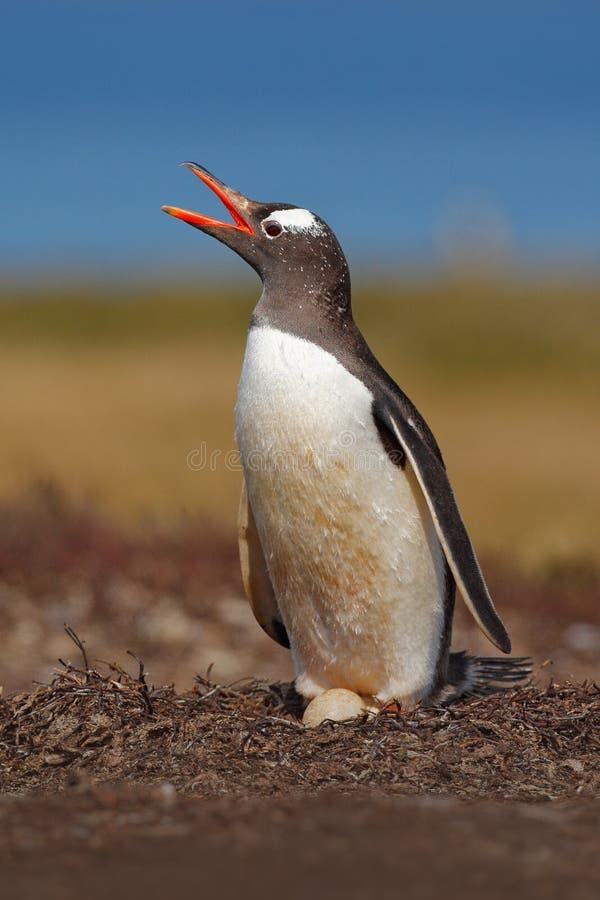 在草甸的嵌套企鹅 在巢机智两鸡蛋的Gentoo企鹅,福克兰群岛 动物行为,在巢的鸟与 库存图片