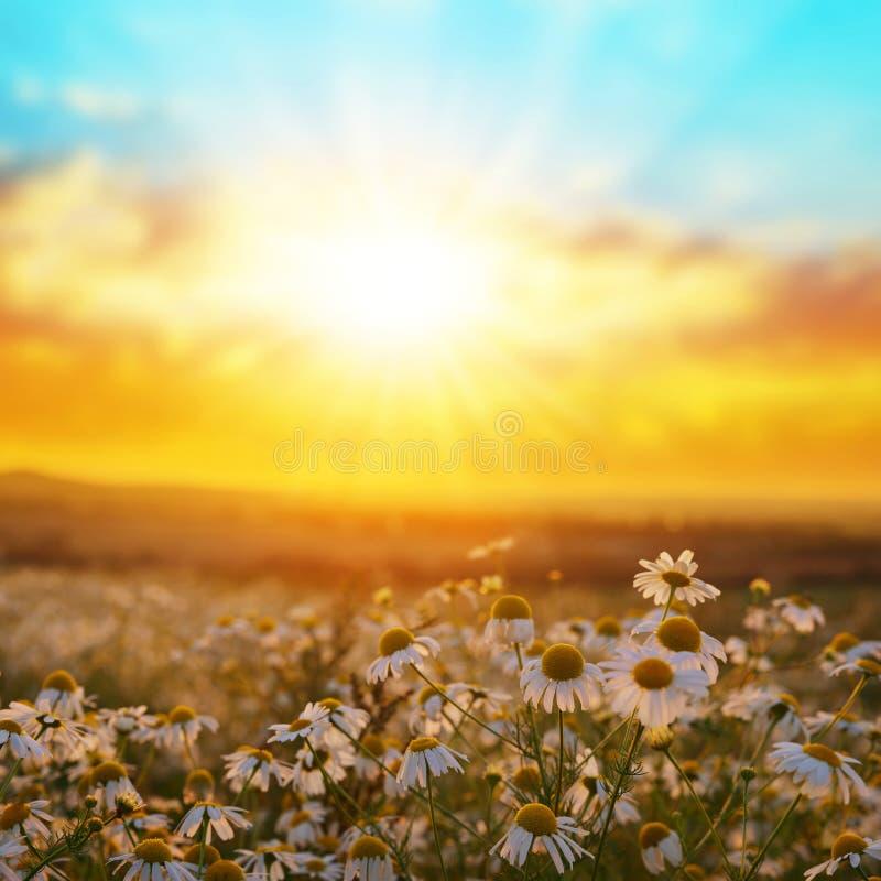 在草甸的延命菊雏菊日落的 免版税库存照片