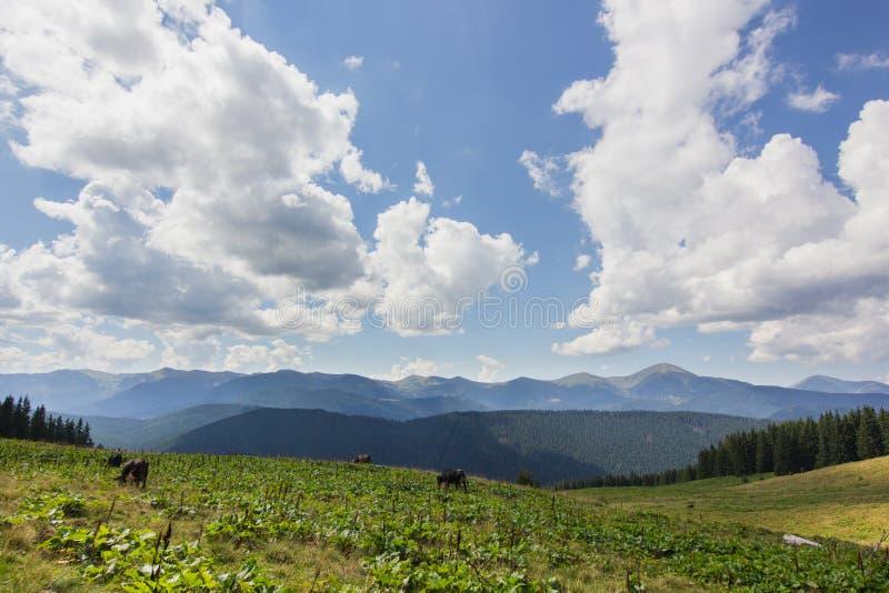 在草甸的母牛有山脉和蓝色多云天空背景的 免版税库存照片
