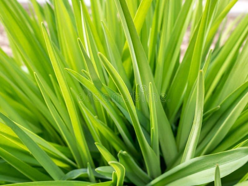 在草甸的水多的豪华的绿草有太阳聚焦的在好日子 自然夏天春天背景 免版税图库摄影