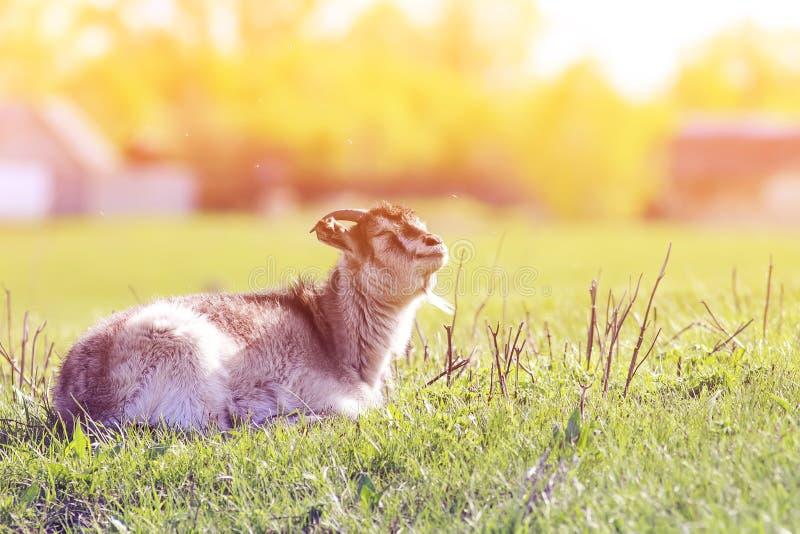 在草甸的滑稽的幼小山羊暴露面孔在阳光 免版税库存照片
