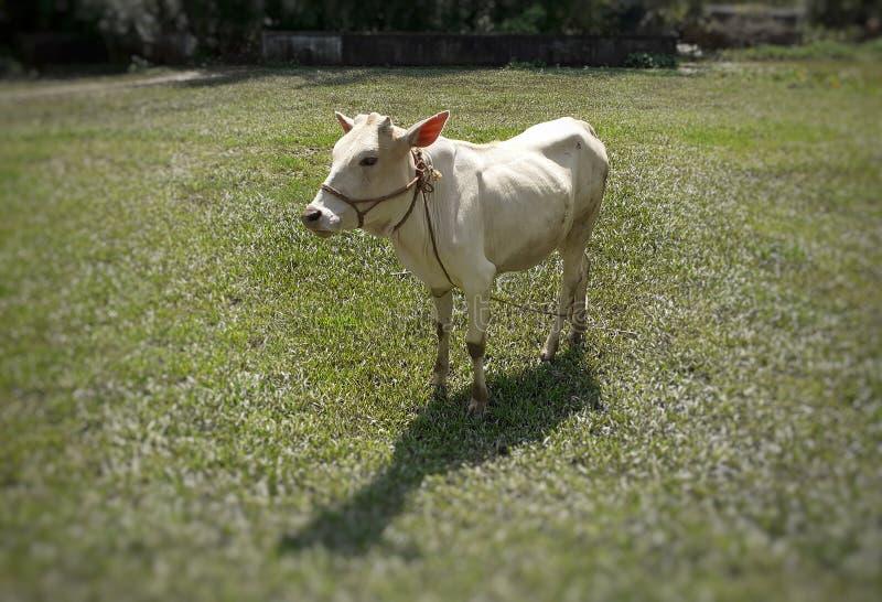 在草甸的白色印度母牛身分在明亮的阳光下 免版税库存图片