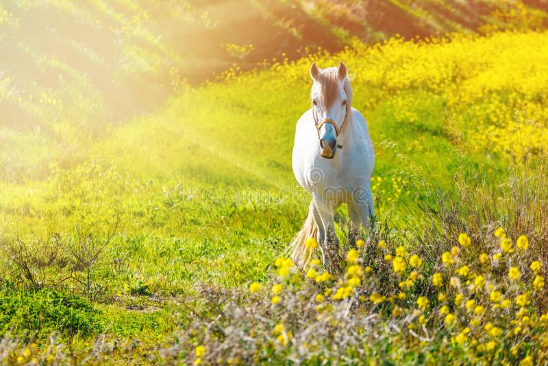 在草甸的白色安达卢西亚的马在日落期间 免版税库存图片