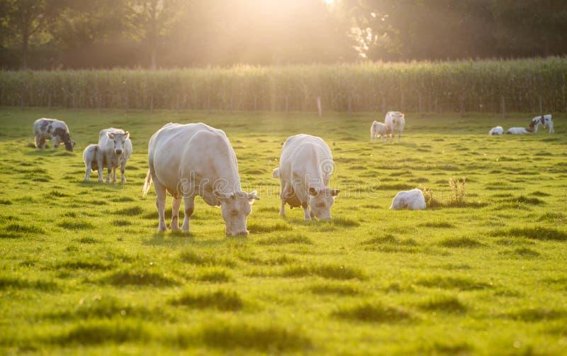 在草甸的白色母牛日落的 库存图片
