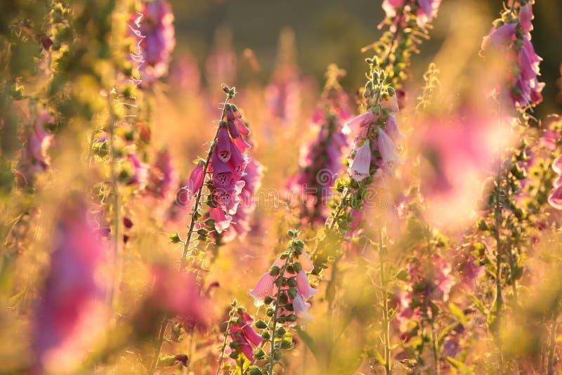 在草甸的紫色毛地黄属植物日出的 免版税图库摄影