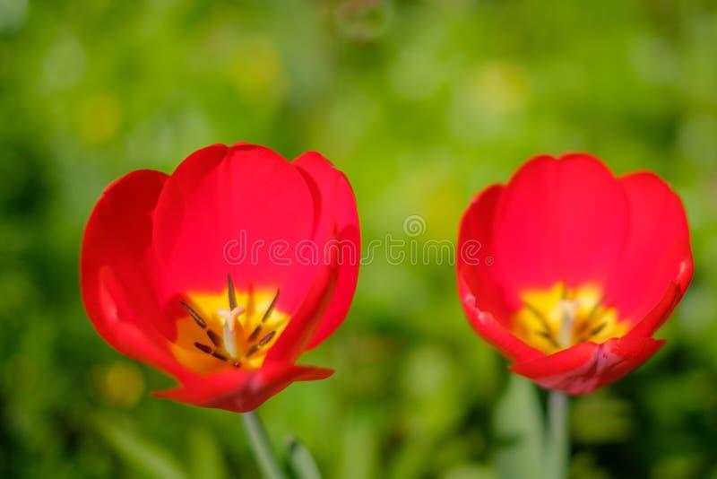 在草甸的红色郁金香花-两朵红色花隔绝与mea 库存图片