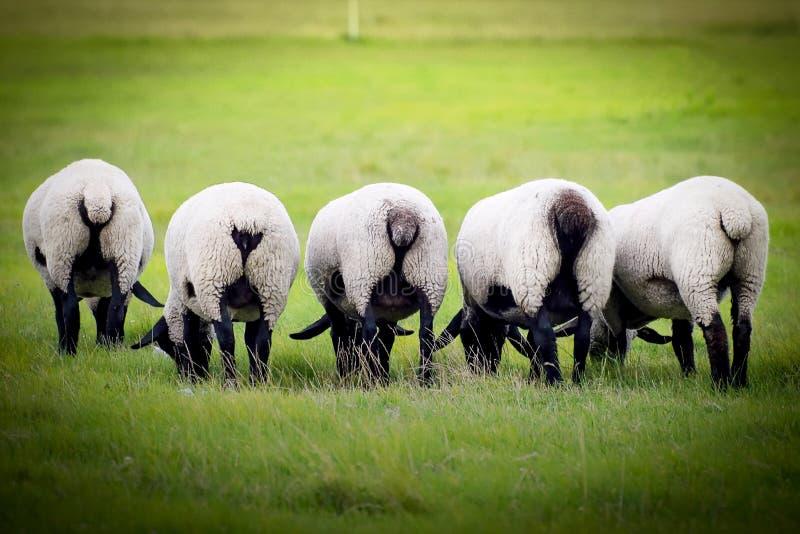 在草甸的绵羊的 在农场的绵羊的吃草的 免版税库存照片
