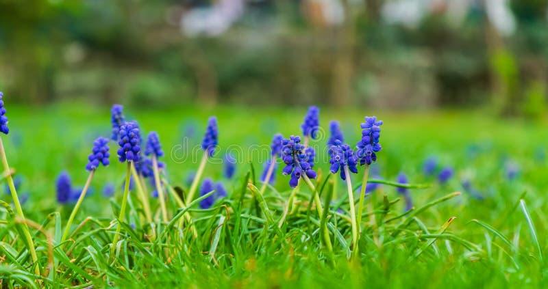 在草甸的美丽的蓝色花 库存图片