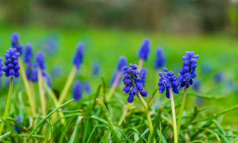 在草甸的美丽的蓝色花 免版税库存图片