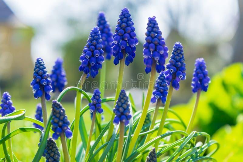 在草甸的美丽的蓝色花 图库摄影