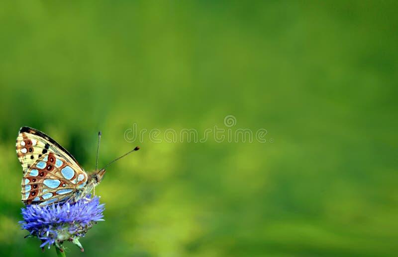 在草甸的美丽的蝴蝶 蝴蝶高棕色贝母 复制空间 库存照片