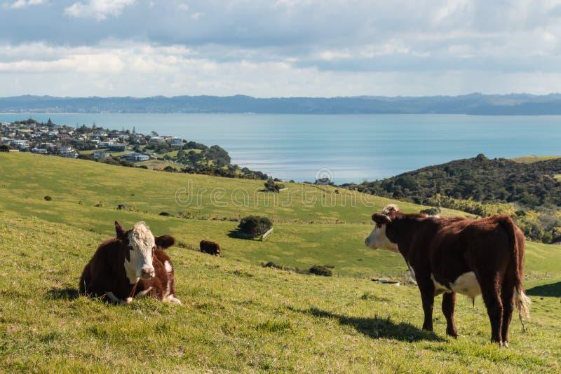 在草甸的赫里福德母牛 免版税库存图片