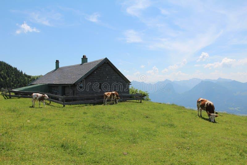 在草甸的高山母牛 免版税库存照片