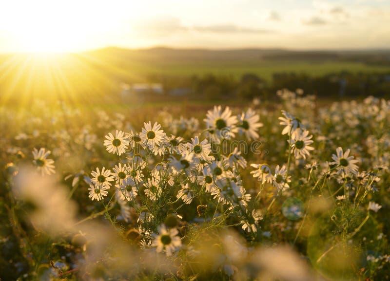 在草甸的延命菊日落的 库存照片