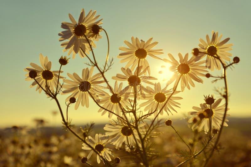 在草甸的延命菊日落的 库存图片