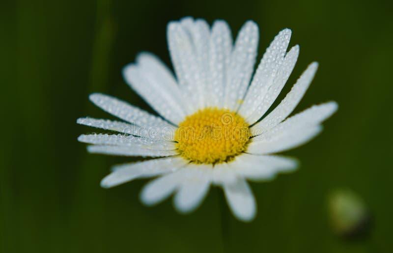 在草甸的延命菊花夏时的 免版税库存图片
