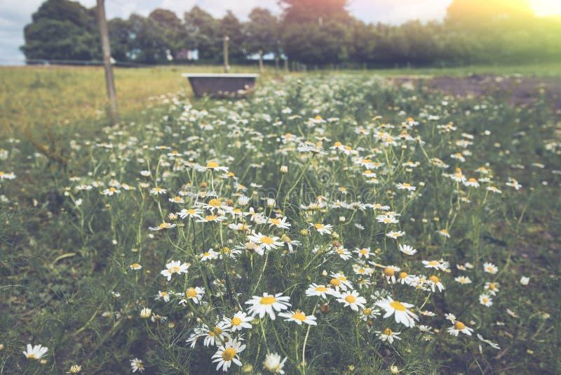 在草甸的延命菊花 库存照片