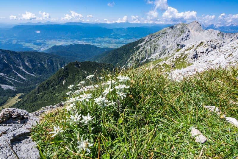 在草甸的Edelweiss在山顶部 免版税库存图片