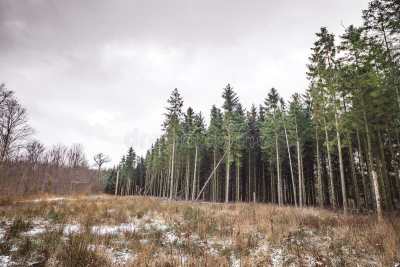 在草甸附近的高松树森林 库存图片