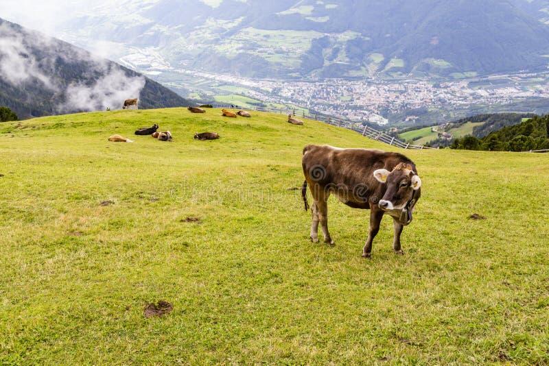 在草甸,南部蒂罗尔,意大利的母牛 图库摄影