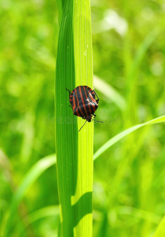在草甸,立陶宛染黑与橙色线的被剥离的臭虫 库存图片