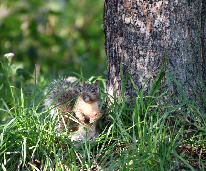 在草的一只灰鼠 免版税库存照片