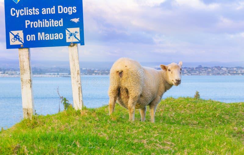 在草的一只羊羔在登上Maunganui倾斜的陶朗阿市议会警报信号下  图库摄影