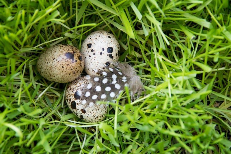 在草的三个蛋鹌鹑与羽毛 库存照片