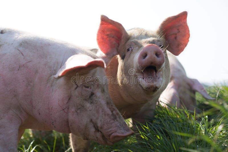 在草的三头猪 免版税库存照片