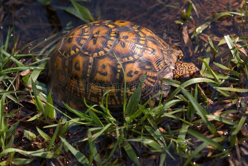 在草的东部龟盒 免版税图库摄影